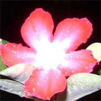 adenium merah tua